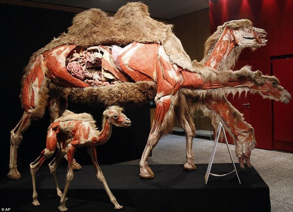 德国动物身体展 肌肉内脏清晰可见(组图)