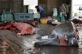 日本 血腥/400年来,日本已成为了目前世界上最大的捕鲸、食鲸国。
