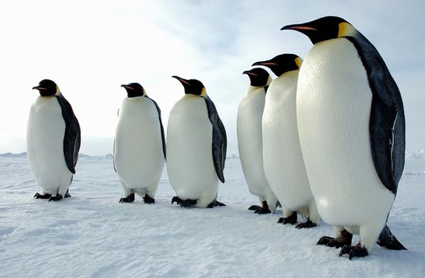 是由某只或某些企鹅开始的,或者是否这种行为遵循着一定的等级制
