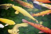 梦见钓到大鲤鱼        钓鱼爱好者,钓到死鱼的,在死水里钓到的,钓到后卖鱼或者被抢走的除外。金色大鲤鱼,越大越好,越活跃越好,自己在梦里欣喜的最好。这个梦印证的是提升的机会,旺事业的金色鲤鱼梦,会让你在一个月之内事业顺利,升职机会很轻松的把握住并拢到手。