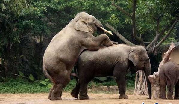 千奇百怪的大象交配方式(组图)