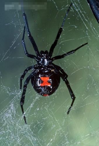 全球16种最毒的动物:黑寡妇蜘蛛,喜马拉雅白头蛇