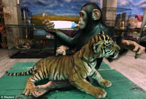 史上最有母爱的黑猩猩 竟然给小虎崽喂奶