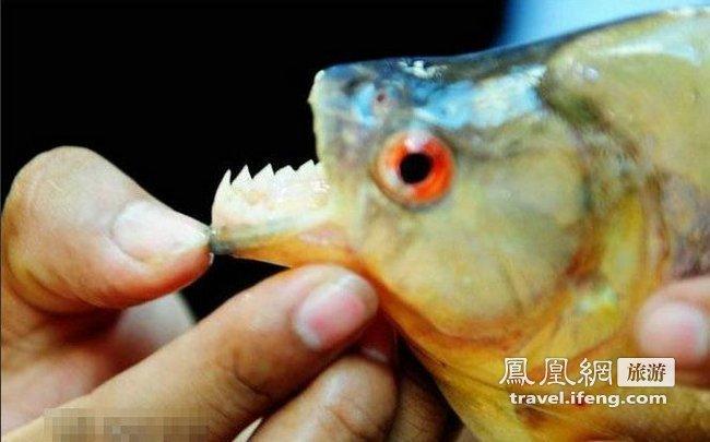 探秘令人闻风丧胆的亚马逊食人鱼