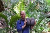 海椰子树是雌雄异株植物,神奇的是,海椰子雌树结出的海椰子呈椭圆状,状如女性骨盆;