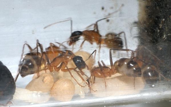 53张组图高清实拍:蚂蚁交配产卵接生全过程
