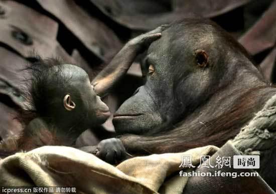 猩猩母子之间的亲昵时刻