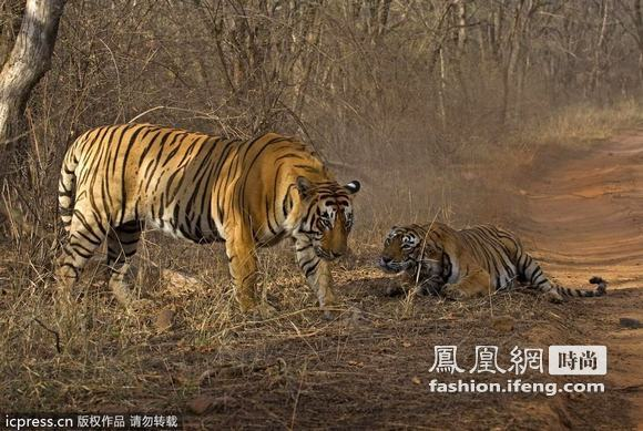 雌雄老虎为食物搏命打架