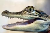 行李中的鳄鱼    国外海关总是能给大家一些意想不到的惊喜,他们搜寻出来的东西都非比寻常,实在令人惊愕,一起去瞧瞧吧。