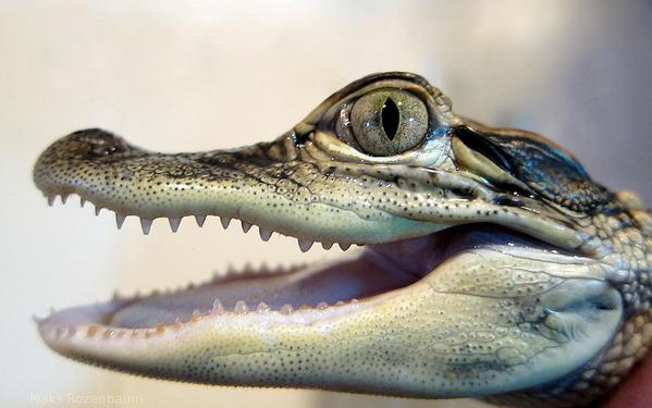 海关没收的稀奇古怪物品 行李中藏鳄鱼(图)
