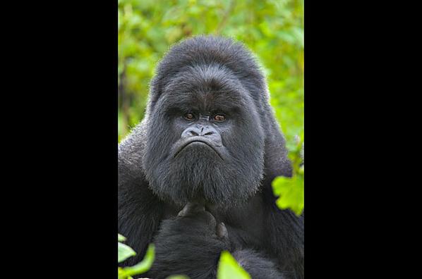 探访中非山地大猩猩:拍打胸部显示强壮(图)