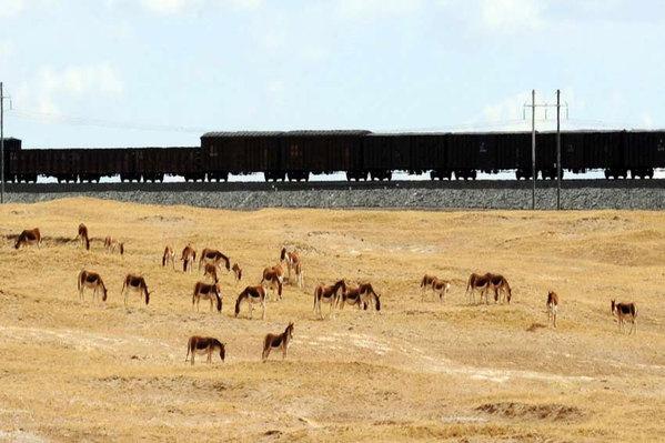"""青藏铁路沿线成为高原""""动物乐园"""""""