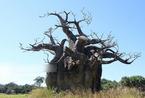 萨摩亚男人种十棵树吃一辈子 揭秘面包树