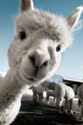 组图:可爱羊驼表情大全