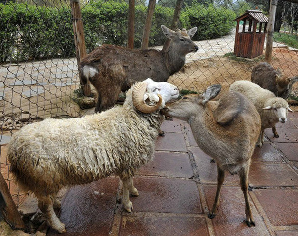 人和绵羊交配_动物奇闻:绵羊爱上梅花鹿每天交配