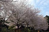 中正神社周围也种满了樱花。