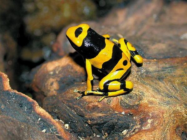 世界毒性最大动物:一只箭毒蛙可杀死两万老鼠