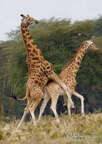 动物世界千奇百怪的交配过程(组图)