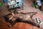 以后只能在餐桌上看动物?盘点全球残忍行为
