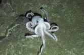 """失落世界的幽灵章鱼:研究团队遇到的最罕见的发现之一是一只2英尺长(0.6米长)的章鱼。科普利不确定这只章鱼吃什么,但是研究人员设法拍摄到了这些动物以一种怪异的方式在海底行走。科普里说:""""章鱼后面的四只触手有一点像坦克的履带,前面的四只在前面摸索。它们行动迅速而且罕见,所有我们无法收集任何的样本,但是它们很可能是一个新的物种。"""""""