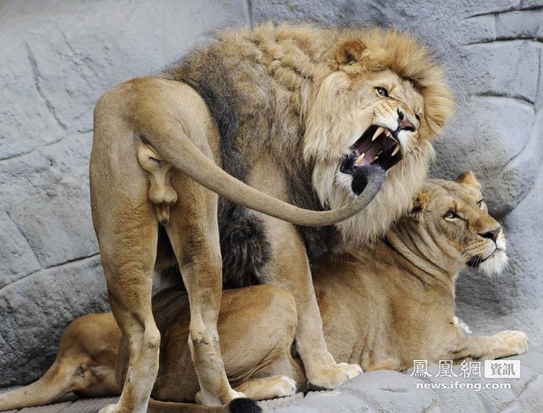 """人与动物做爱1715ia{0_狮子""""做爱""""被拍_资讯频道_凤凰网"""