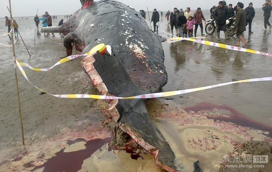 江苏4头搁浅鲸鱼死亡 有人夜间割肉