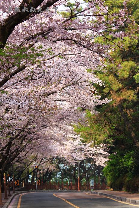 手机壁纸图片樱花