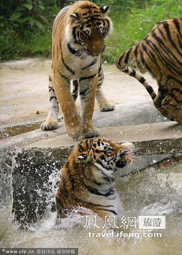 """练一群东北虎,学着表演跳台""""跳水"""".原本会游泳和爬树的东北"""