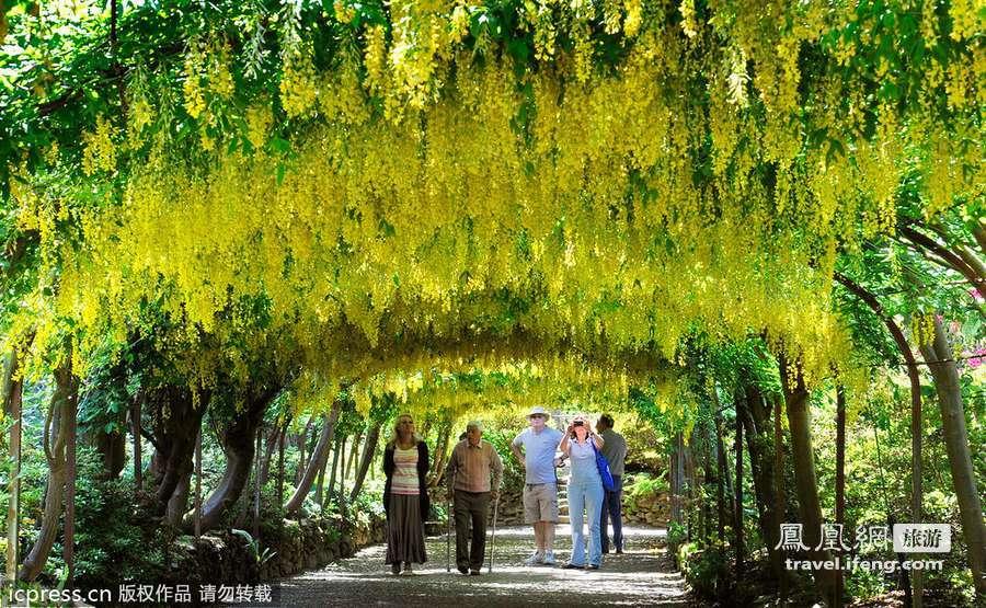 英国最长金链花走廊 享受最美丽风景