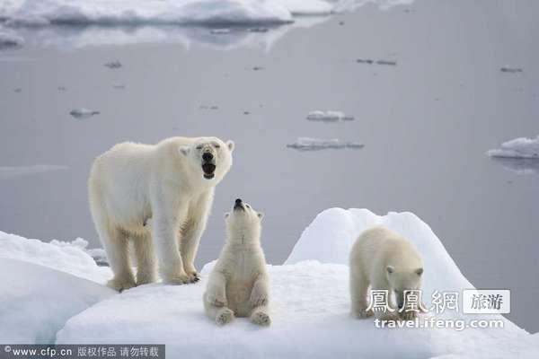 北极还是沙漠?环境恶化北极熊内陆觅食