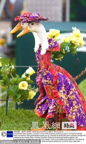 """最另类的时装秀:鸭子""""模特""""走T台令人忍俊不禁"""