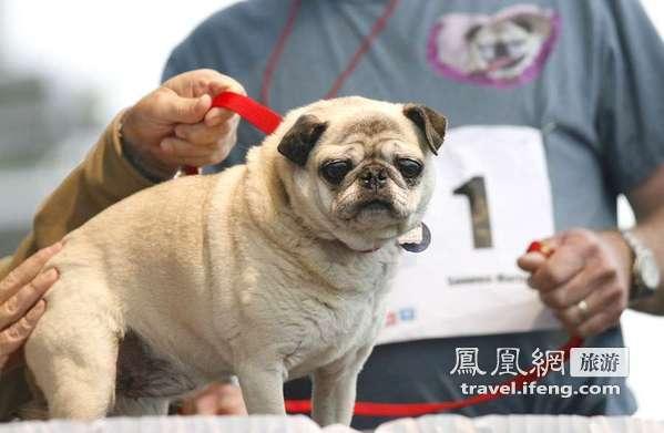 2012世界最丑狗大赛 比比谁更丑陋?