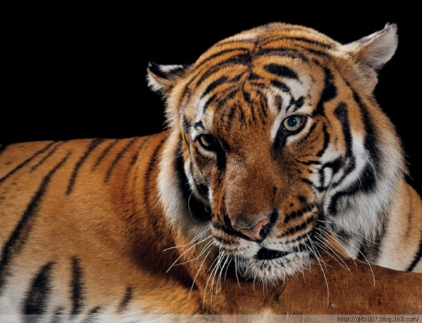 体型最大的猫科动物,雄性体重可达300公斤。自20世纪30年代以来,已有三个老虎亚种灭绝。马来西亚虎以及其他四、五个亚种仍在亚洲地区挣扎在生死边缘。估测野生数量:少于4000头。动物园圈养:1660头。现状:濒危。