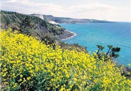去济州岛看油菜花海是韩国新婚夫妇的首选蜜月地