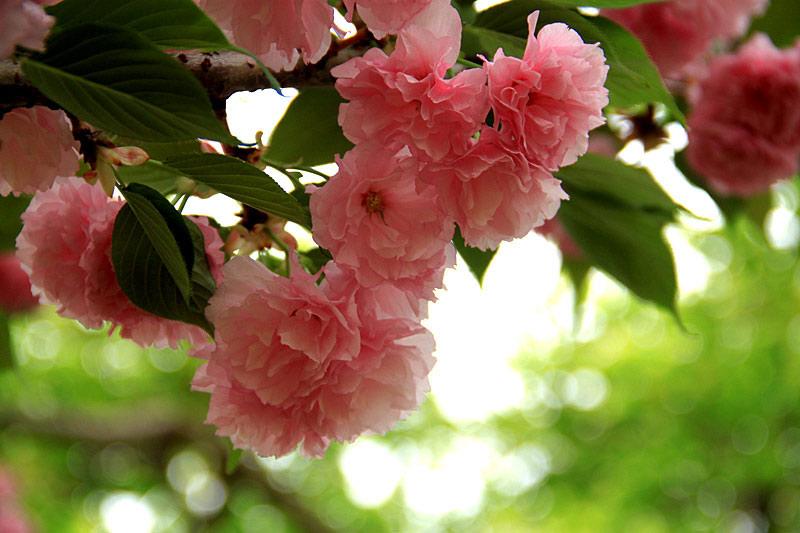 广州南沙:落花满天 绯红樱花盛放时