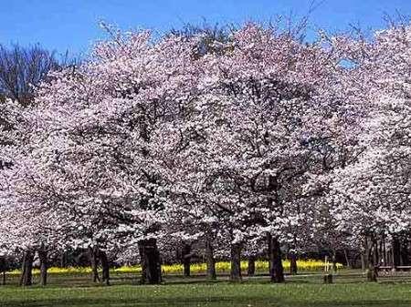 周边游 > 正文      青岛中山公园 人气樱花街仿如童话 樱花品种:属于
