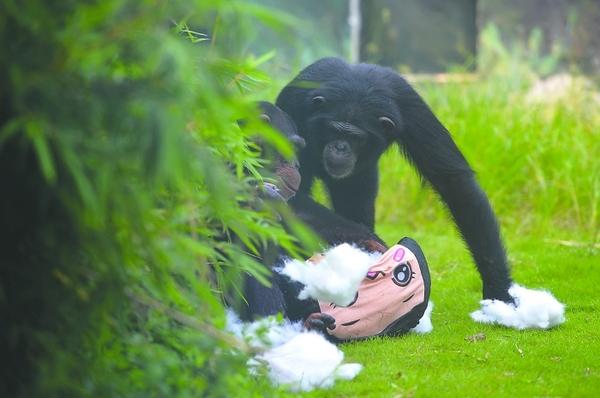 争抢中,玩具被撕烂了!宝宝和乖乖一下子伤感了 8月14日,四川省成都市成都动物园,黑猩猩宝宝和乖乖有了一个新朋友。喜爱他俩的网友送来了一个可爱的玩偶娃娃,被称为猩猩奶爸的饲养员杨瑞麟把这个玩偶放进了圈舍。原来,这是对黑猩猩进行认知丰容的训练,增加其对新鲜事物的认识能力。宝宝和乖乖兴奋地跟这个毛绒玩具玩耍,引来不少游客观看。