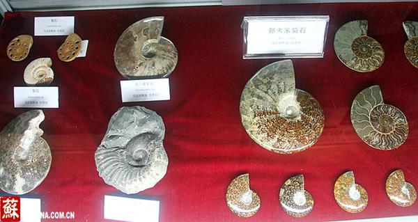 中国江苏网5月16日讯(记者 王静)今天上午,以《远古时代的动物明星头足类》为主题的第二届中科院名馆精品展在南京古生物博物馆开展。近200件来自国内外不同地区、不同地质时代保存精美且极具代表性的头足类化石和相关展品参展,且绝大部分化石均是首次与公众见面。其中刻有北宋诗人、书法家黄庭坚诗文的中华震旦角石标本、高度超1米的巨型标本、保存多个个体的群体共生标本,以及来自德国、日本、马达加斯加的数十件菊石标本,受到了前来观展市民的格外关注。 头足类是地球上生活过体型最大的、最凶猛的肉食性无脊椎动物,它们历