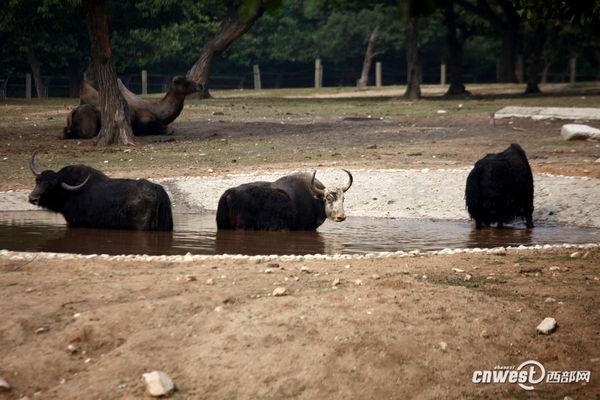 吃冷饮洗凉水澡 西安野生动物园动物避暑待遇好