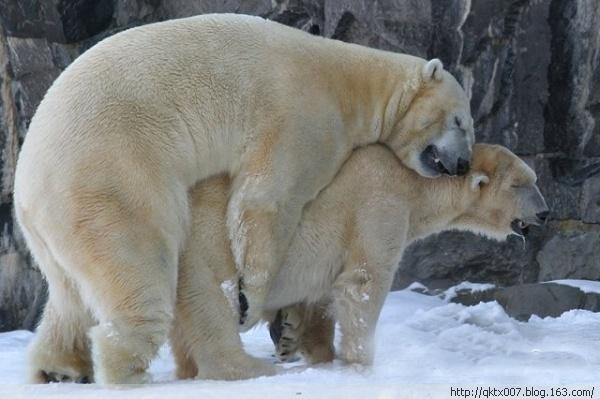 北极熊是交配的鲨鱼一天能掉多少个牙图片