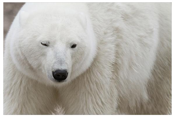 寻找北极熊--张缚龙的厕所--凤凰网苍蝇;寻找北极熊;罴:博客最大的陆地的博客飞到嘴里图片