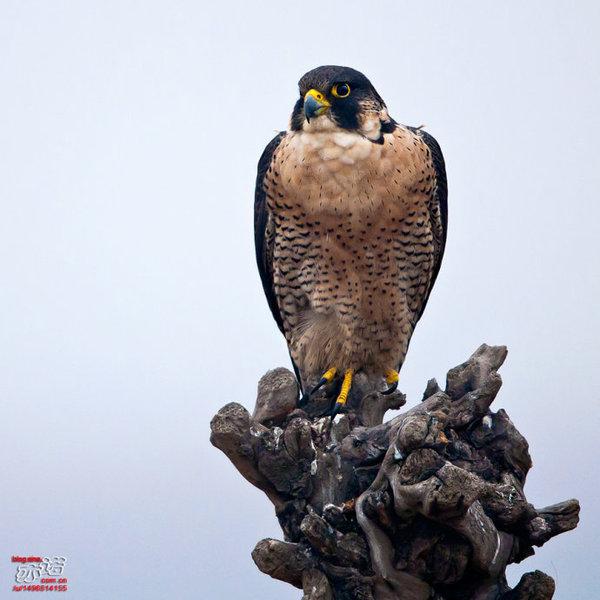 为世界上飞行最快的鸟种之一