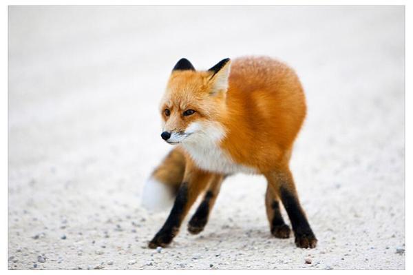 """""""我是一只红狐,又叫赤狐,英文名字red fox,我这pose够酷吧!"""""""