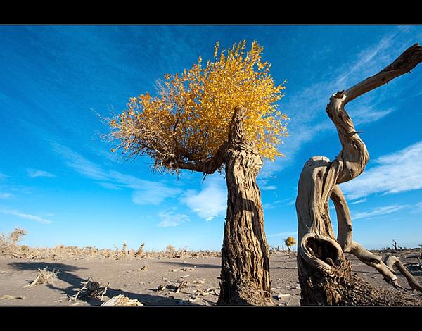 大漠怪树林 胡杨的墓地
