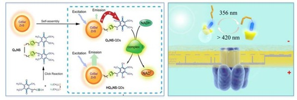 我校化学与分子工程学院在重大疾病分子水平检测研究方面取得系列进展,相继在英国Nature杂志社旗下刊物Scientific Reports上连续发表两篇重要研究成果,分别刊登了用于帕金森症早期预警与诊断的辅酶Q功能化量子点荧光探针(Scientific Reports 2013, 3, doi:10.1038/srep01537)及可在单分子水平上实时调控主-客体分子行为的新型功能化生物纳米通道(Scientific Reports 2013, 3, doi:10.
