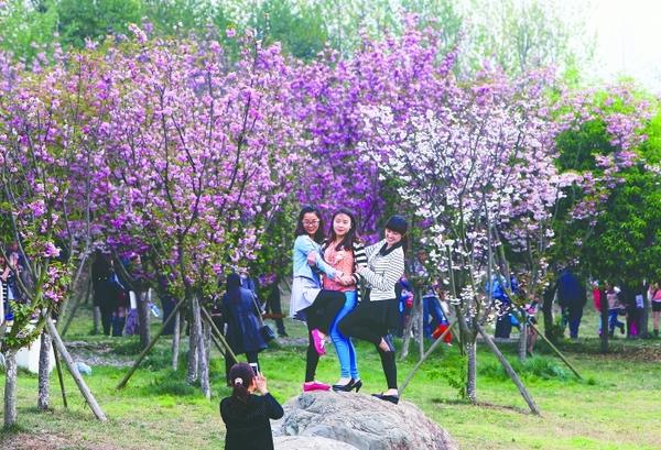 昨日,青白江凤凰湖,游客在樱花树下摆姿势拍照 摄影记者 刘畅