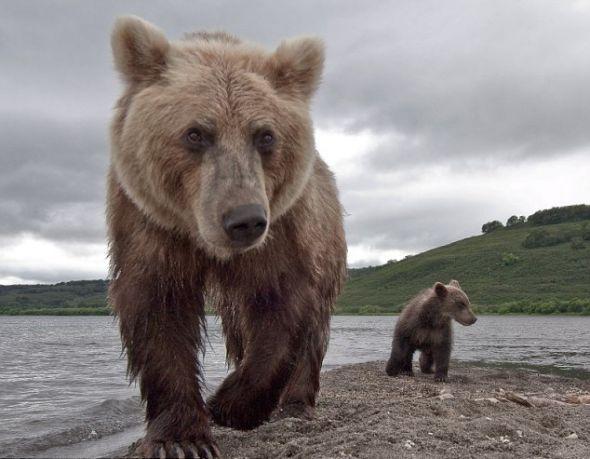 在野外,我与野熊之间的距离与你们在动物园观看野熊时的距离不相上下.