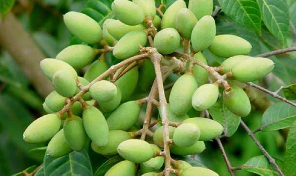 橄榄 早在古希腊时代,橄榄树就是生命与健康的象征,除了可以作为健康食品食用之外,更有突出的美容功效。由树叶到果实,橄榄树全身都能提炼出护肤精华。橄榄叶精华有助皮肤细胞对抗污染、紫外线与压力引致的氧化;而橄榄果实中则含有另一强效抗氧化成分——酚化合物,它与油橄榄苦素结合后,能提供双重抗氧化修护。