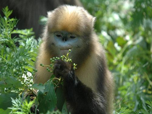 该局送往北京动物园异地饲养的两只黔金丝猴