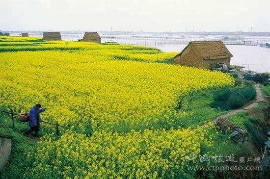 春天周庄周边田野开满金灿灿的油菜花(谢光辉摄)